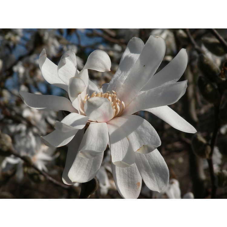 Magnolia loebneri Willowwood