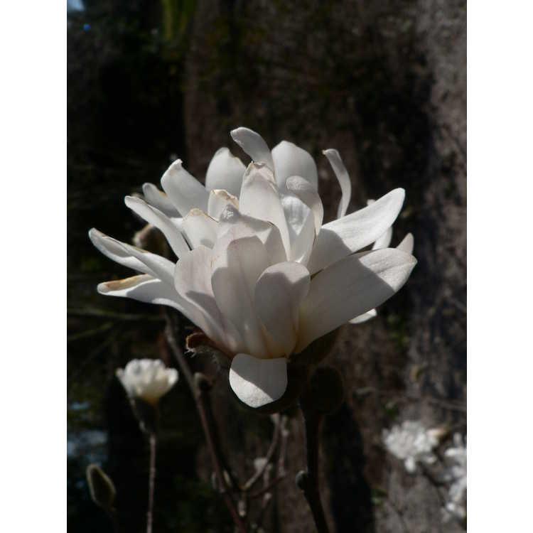 Magnolia loebneri Willowwood