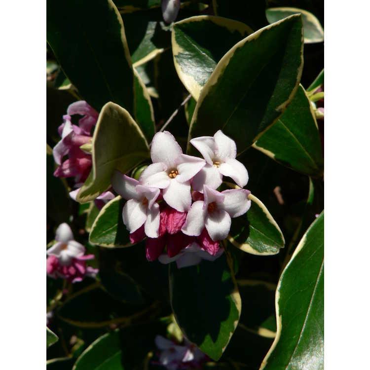 Daphne odora 'Aureomarginata' - gold-edged winter daphne
