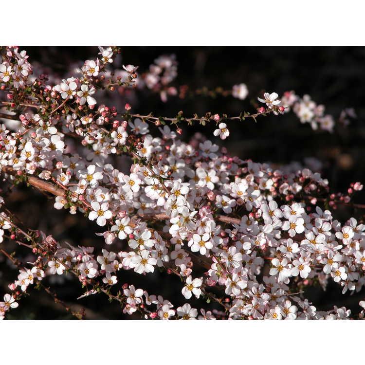 Spiraea thunbergii 'Fujino Pink'