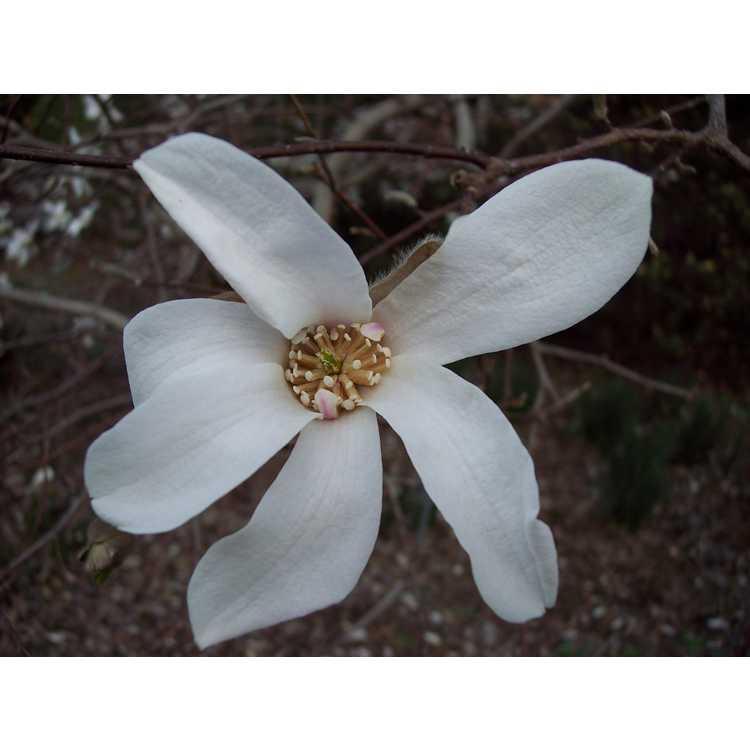 Magnolia loebneri Neil McEachern