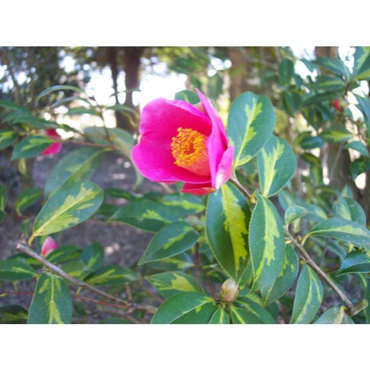 Camellia williamsii Golden Spangles