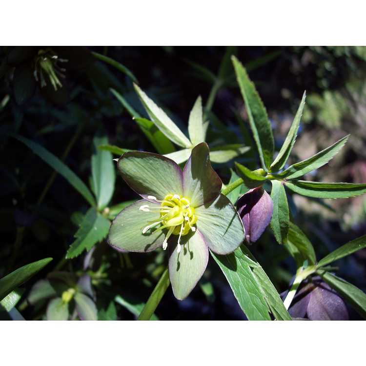 Helleborus croaticus - Croatian hellebore