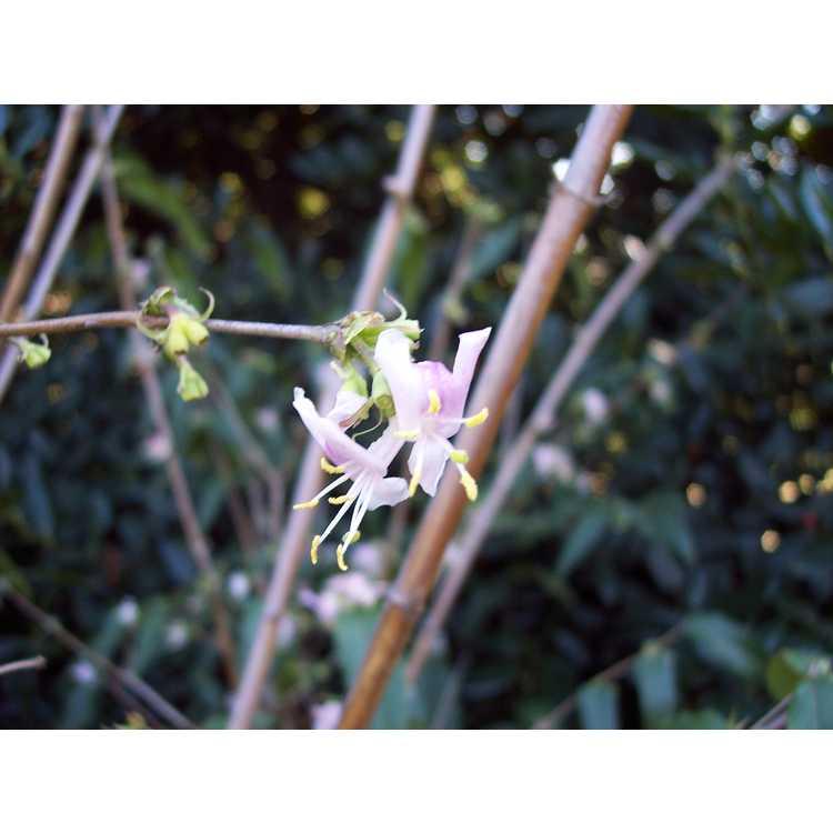 Lonicera standishii lancifolia