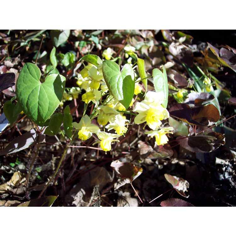 Epimedium ×versicolor 'Sulphureum'