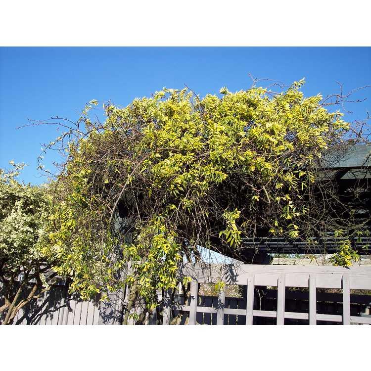 Gelsemium sempervirens 'Woodlanders Pale Yellow' - Carolina jessamine