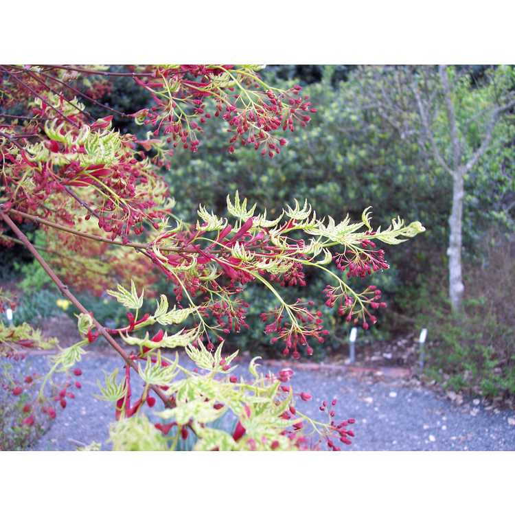 Acer palmatum 'Higasa yama' - variegated Japanese maple