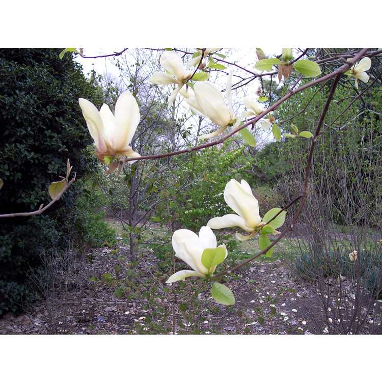 Magnolia 'Yellow Fever' - yellow magnolia