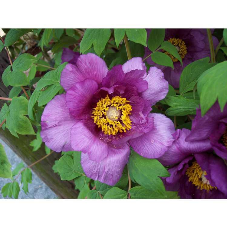 Paeonia suffruticosa Shimadaijin