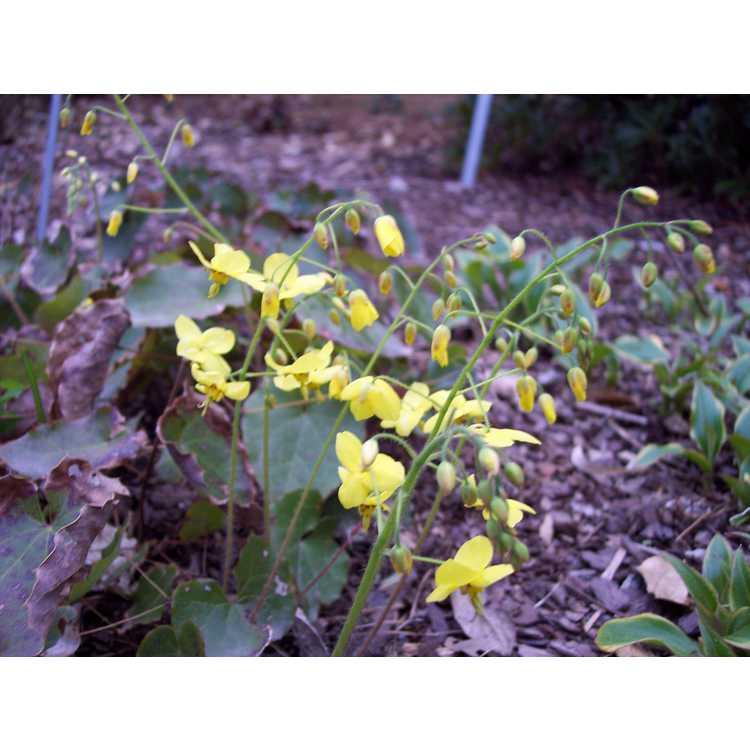 Epimedium ×perralchicum - barrenwort