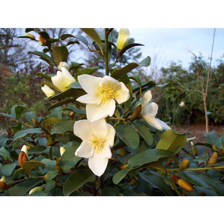 Magnolia laevifolia 'Michelle'