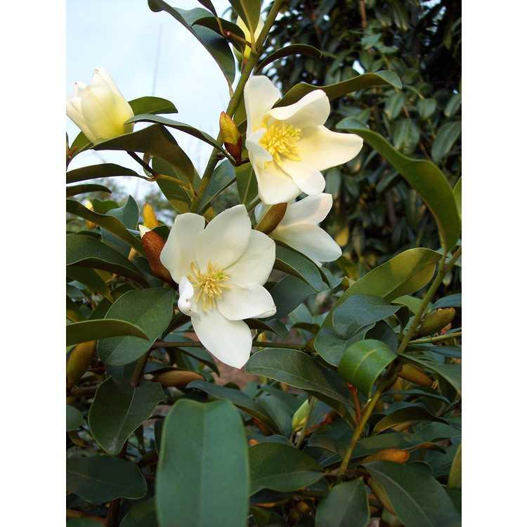 Magnolia laevifolia Michelle
