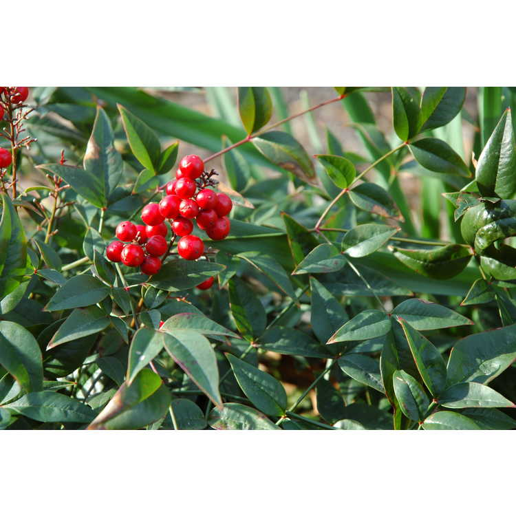 Nandina domestica 'Jaytee' - Harbor Belle dwarf heavenly bamboo