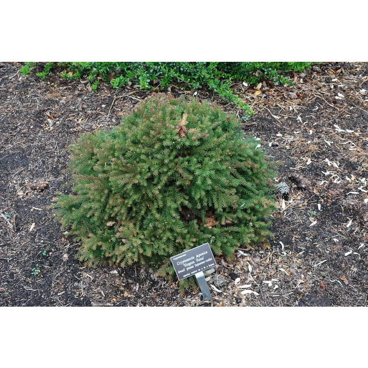 Cryptomeria japonica 'Elegans Nana' - dwarf Japanese-cedar