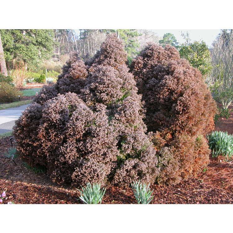 Chamaecyparis thyoides 'Heatherbun' - dwarf Atlantic white-cedar