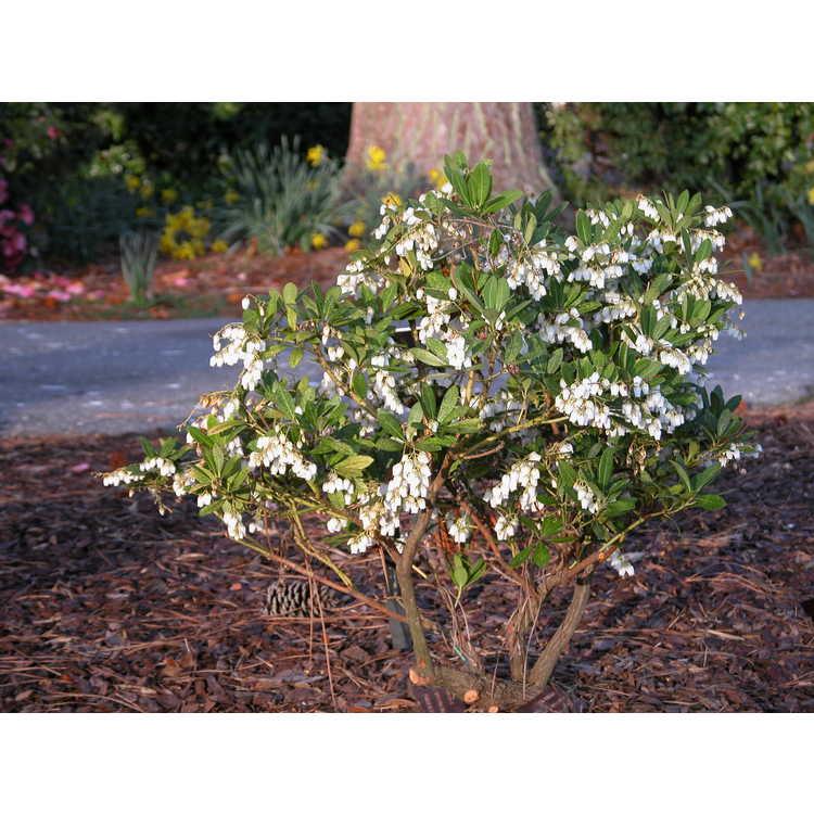 Craibiodendron yunnanensis