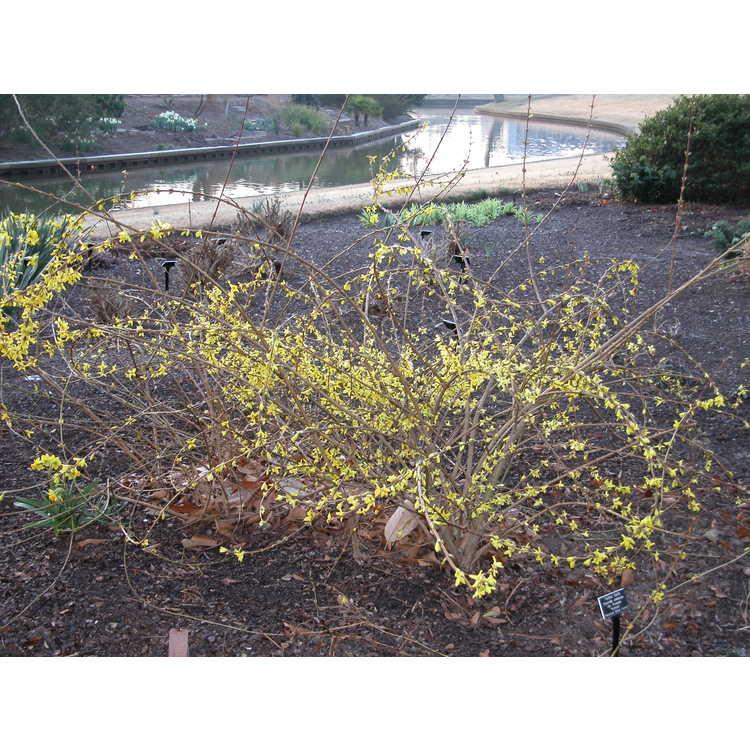 Forsythia koreana 'Kumson' - gold-vein Korean forsythia