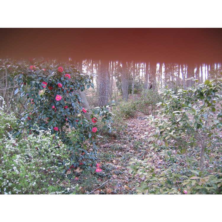 Camellia - camellia