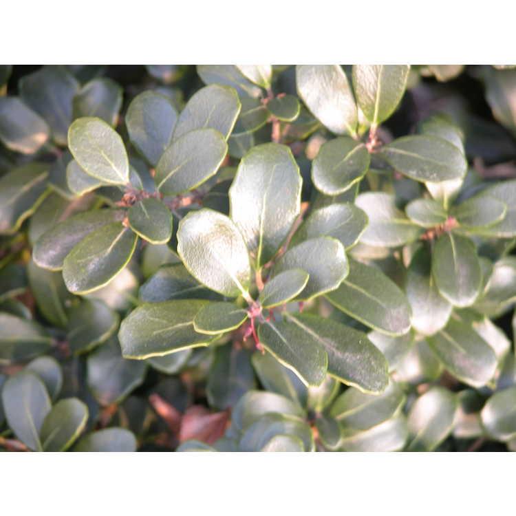 Osmanthus heterophyllus 'Rotundifolius' - round-leaf holly tea-olive