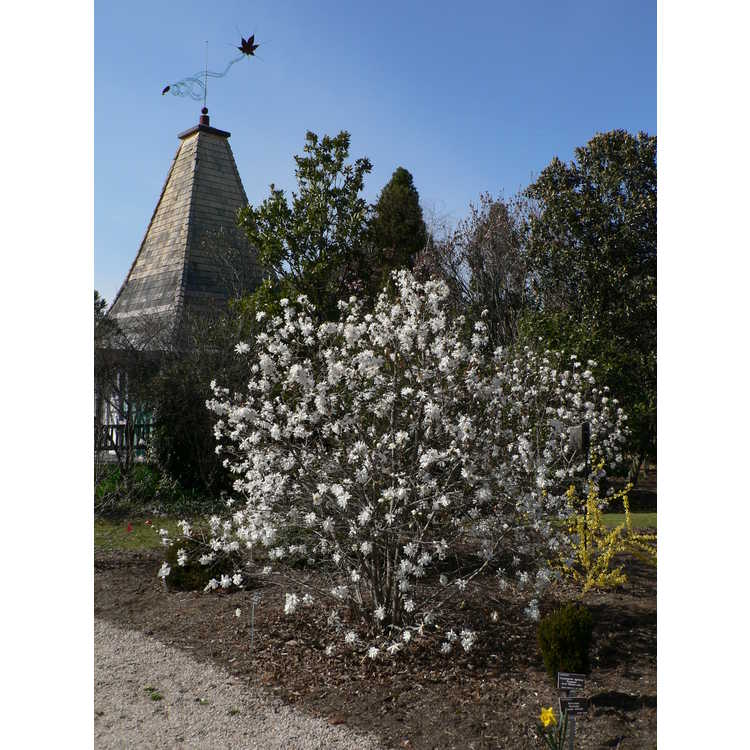 Magnolia ×loebneri 'Willowwood' - Loebner magnolia