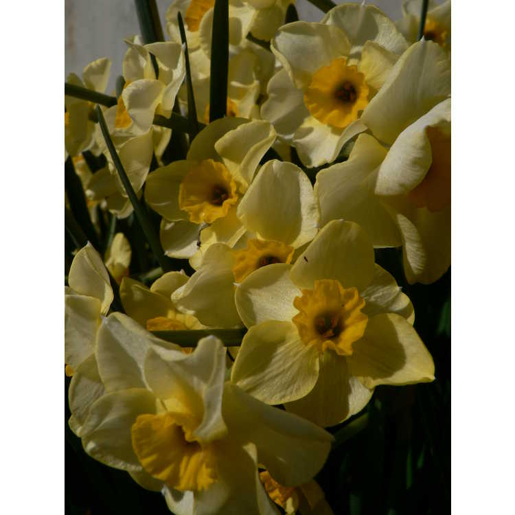 Narcissus 'Golden Dawn'