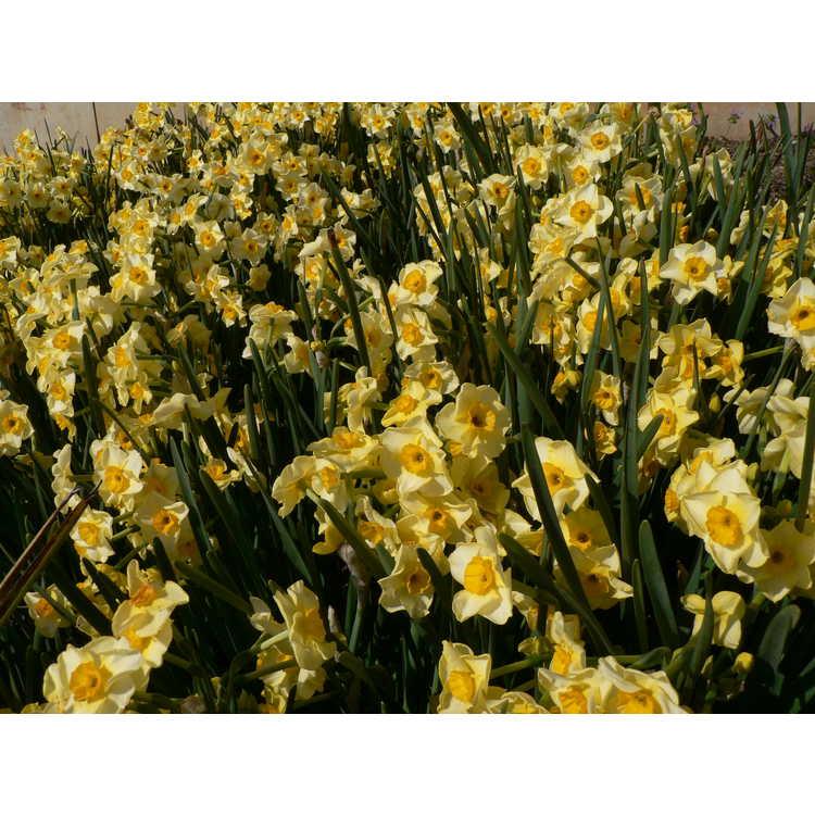 Narcissus 'Golden Dawn' - tazetta daffodil