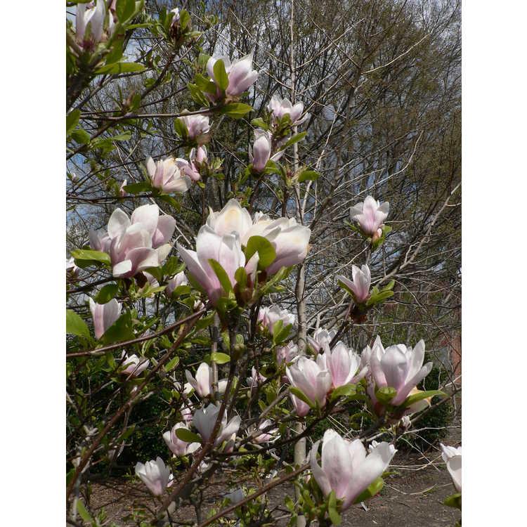 Magnolia ×soulangeana 'Lilliputian'