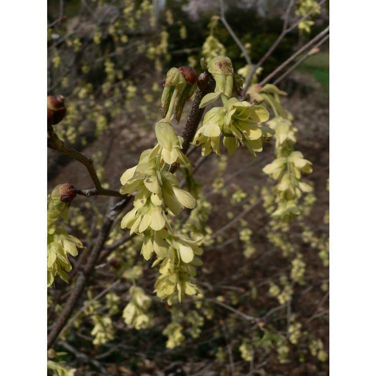 Corylopsis glabrescens var. gotoana - fragrant winterhazel