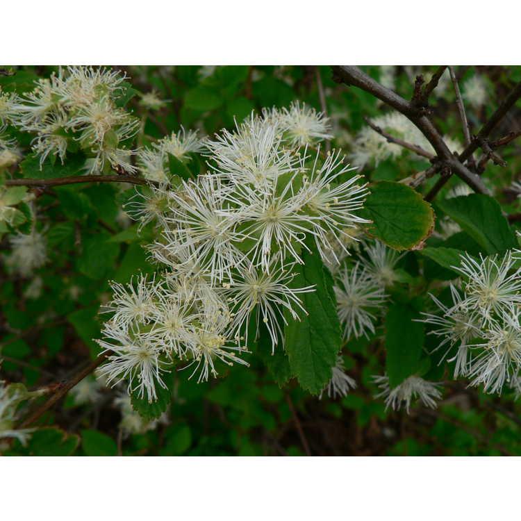 Neviusia alabamensis - Alabama snow-wreath