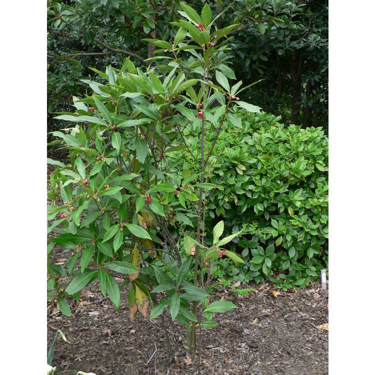Illicium Woodland Ruby