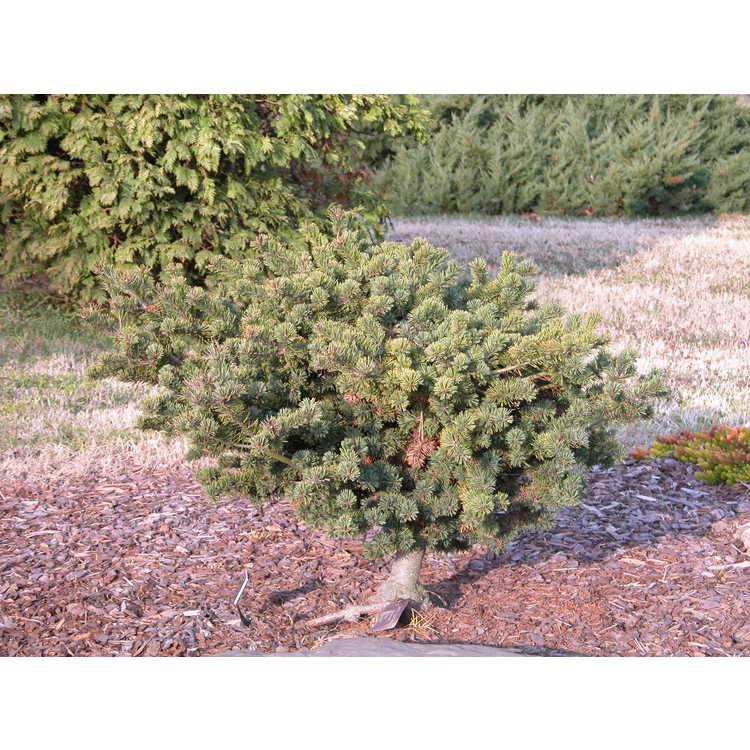Pinus parviflora 'Adcock's Dwarf' - dwarf Japanese white pine