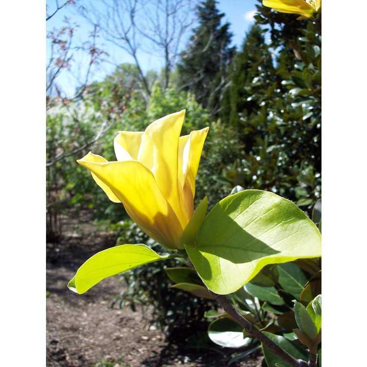 Magnolia 'Judy Zuk' - Brooklyn Botanic Garden hybrid magnolia
