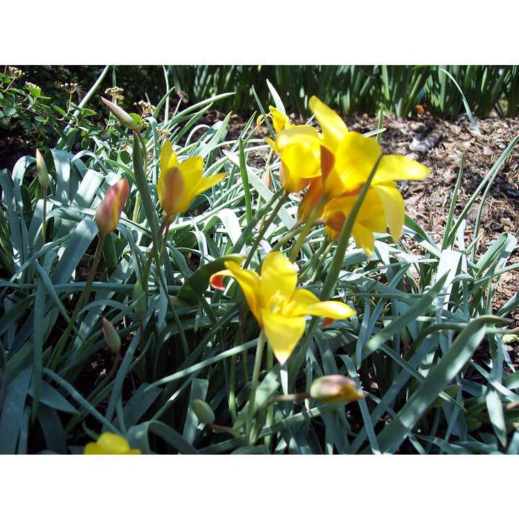 Tulipa clusiana var. chrysantha - golden lady tulip
