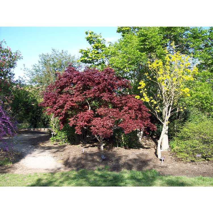 Acer palmatum 'Bloodgood'