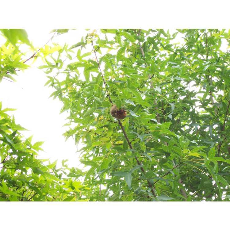 Acer pilosum var. stenolobum