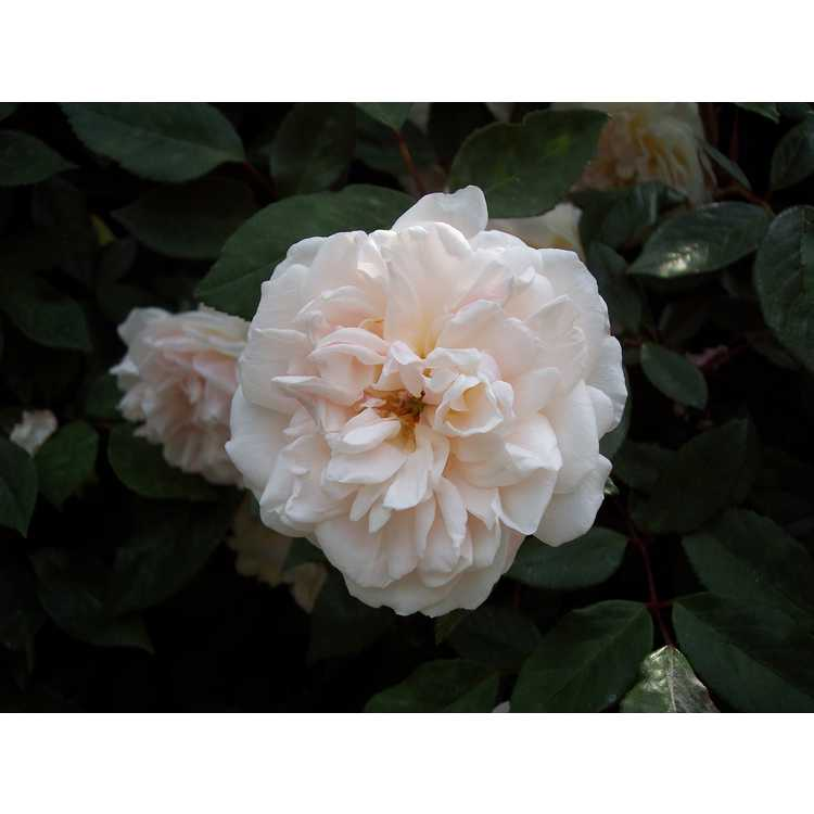 Rosa 'Spice' - China rose