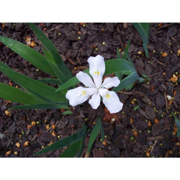 Iris cristata Gene Cline Form