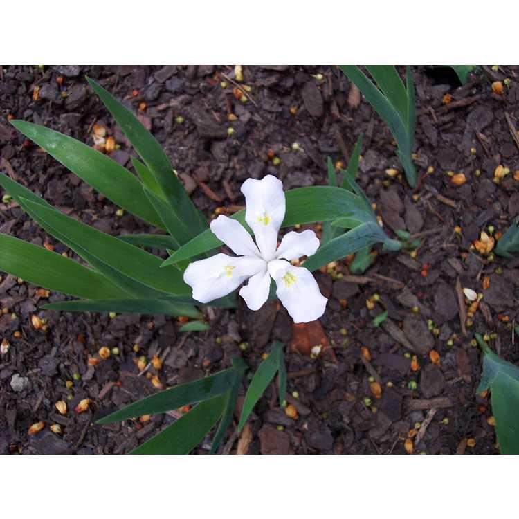 Iris cristata 'Gene Cline Form' - white crested iris