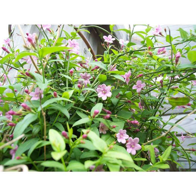 Jasminum beesianum - Chinese jasmine