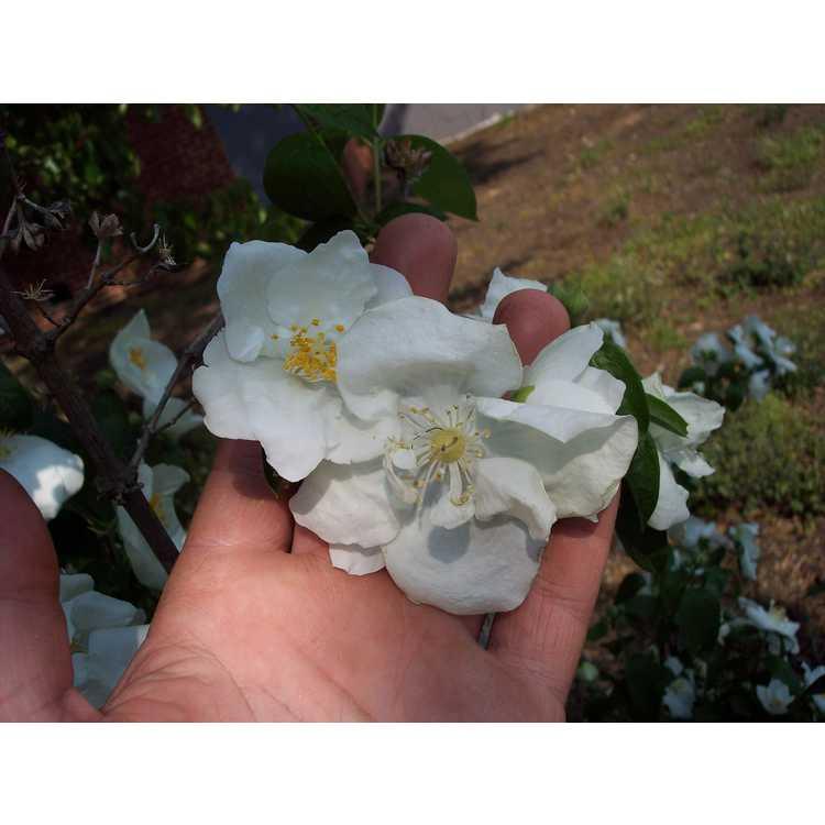 Philadelphus Snow Velvet