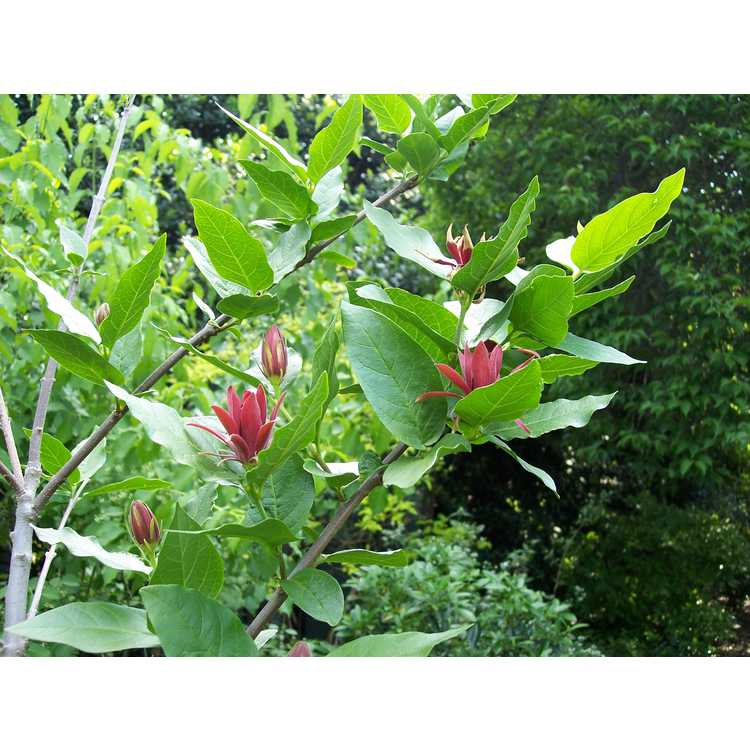 Calycanthus occidentalis - western sweetshrub