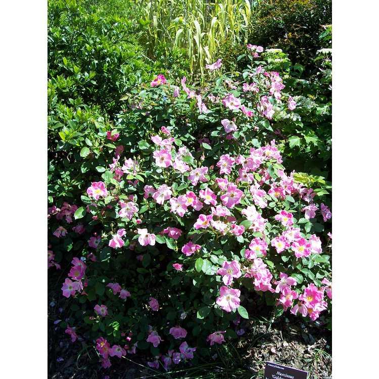 Rosa 'Nearly Wild' - shrub rose