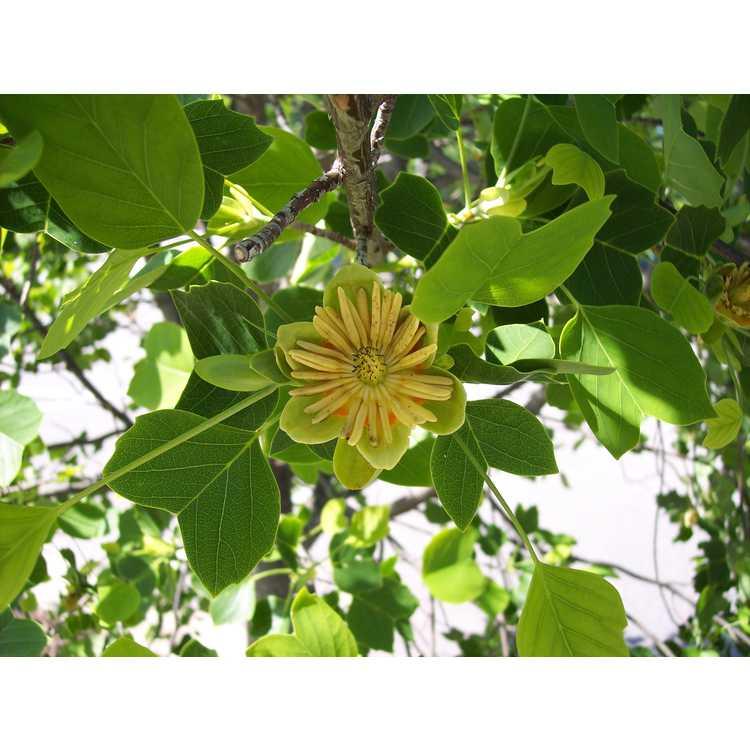 Liriodendron tulipifera 'Ardis' - littleleaf tuliptree