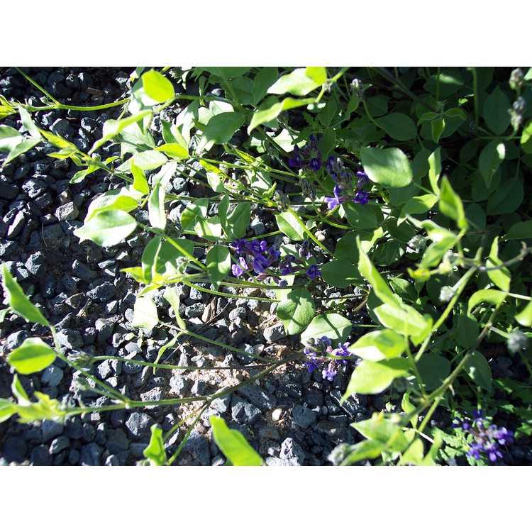 Orbexilum pedunculatum