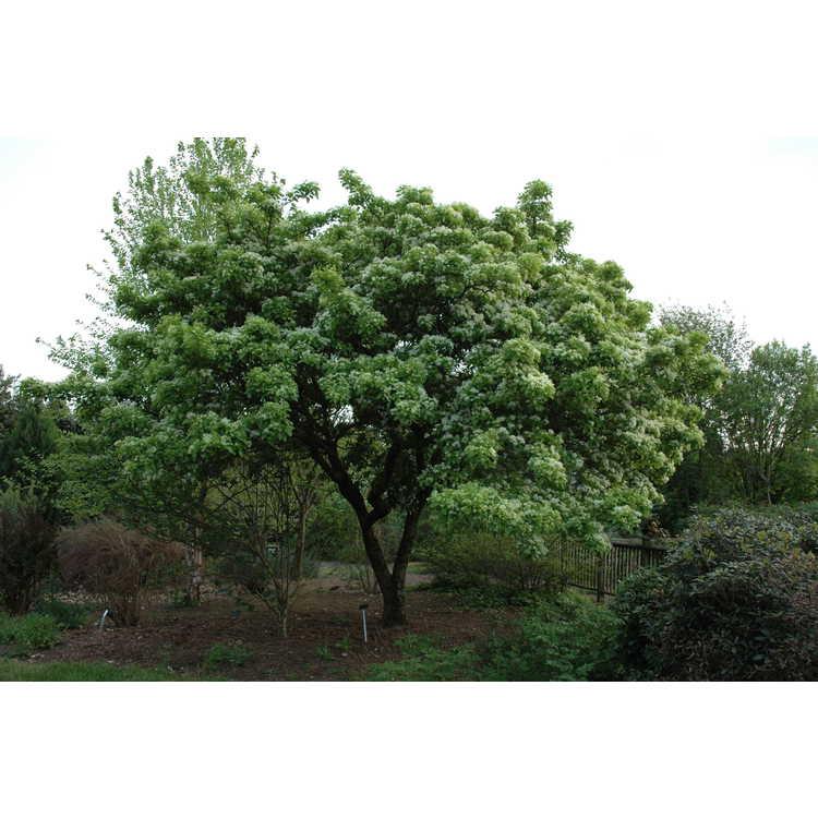 Chionanthus retusus - Chinese fringe tree