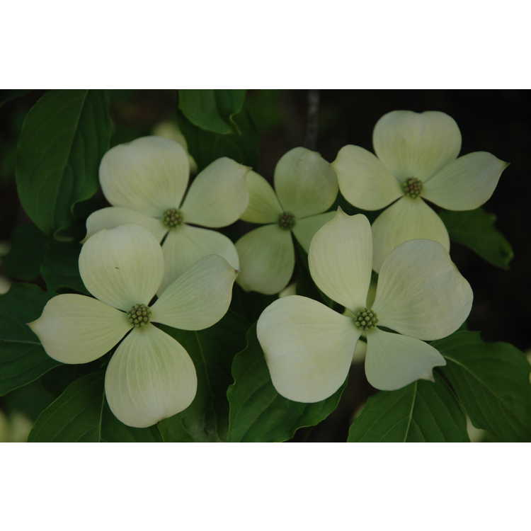 Cornus 'Rutcan' - Constellation Rutgers hybrid dogwood
