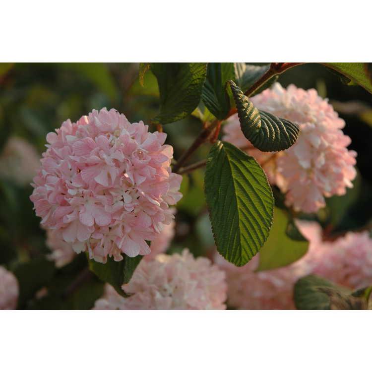 Viburnum plicatum 'Pink Sensation'