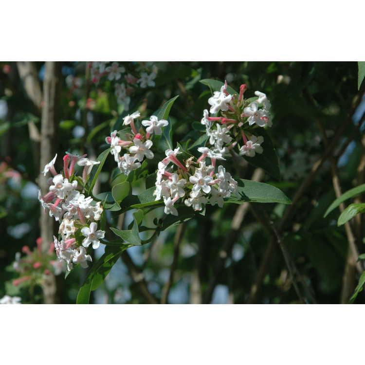 Abelia mosanensis - Mangsan abelia