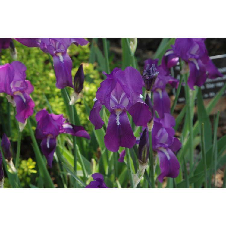 Iris aphylla - stool iris