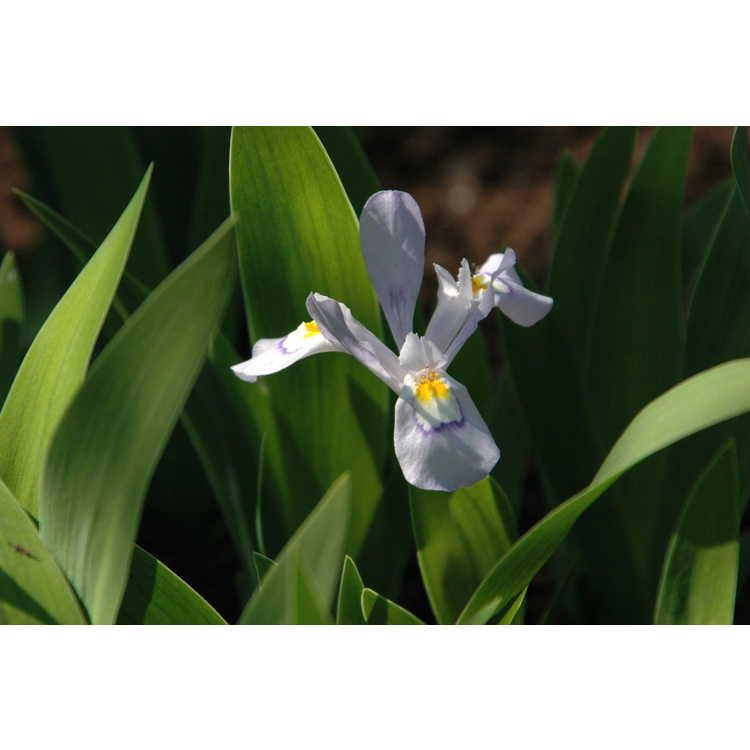 Iris cristata 'Vein Mountain' - dwarf crested iris